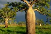 australia-boab-trees_6619_600x450